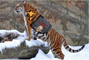 tiger therapy